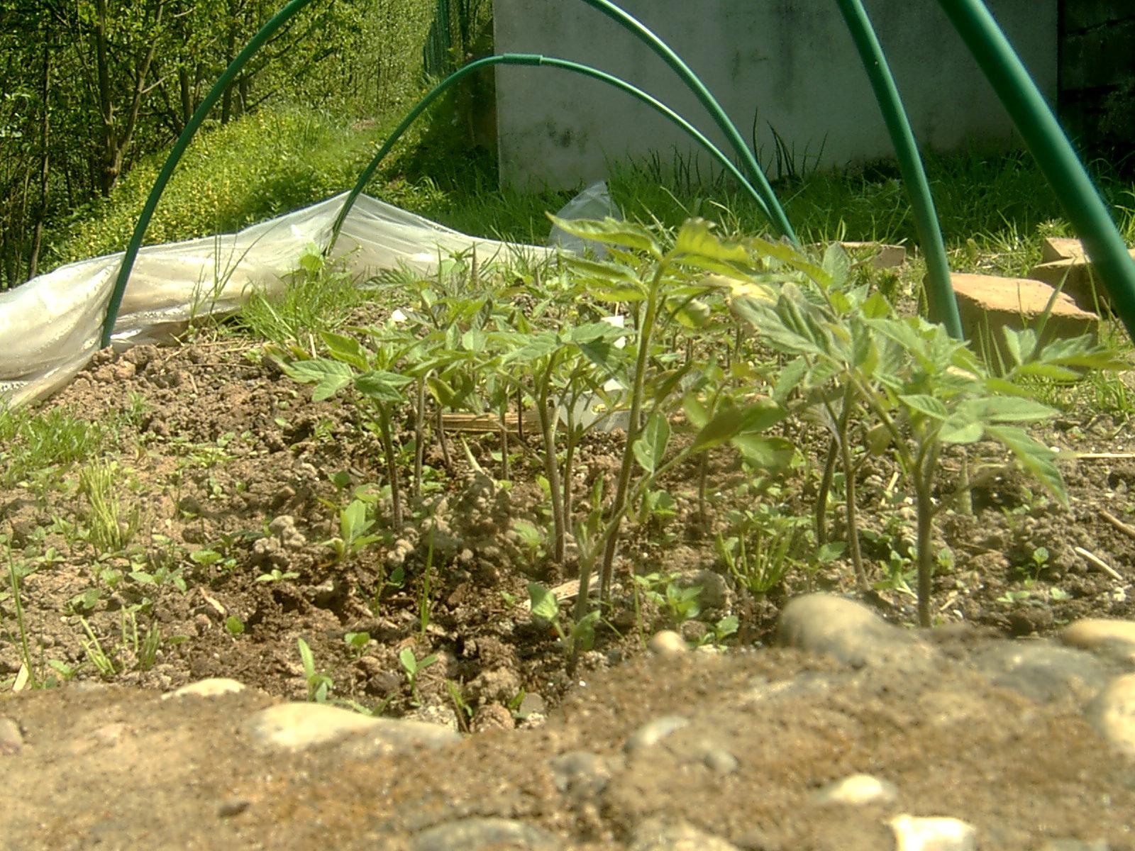 Mon jardin colo page 3 - Quand repiquer les tomates en pleine terre ...